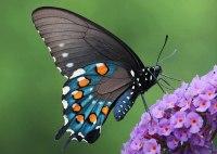 papillon être